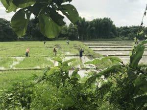 rice field activity | Buzzy Bee Bike, Chiang Mai, Thailand
