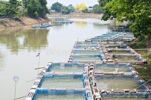 fish farms in the Ping River | Buzzy Bee Bike, Chiang Mai, Thailand