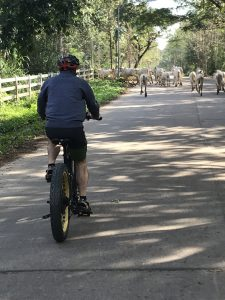 cattle crossing our path | Buzzy Bee Bike, Chiang Mai, Thailand
