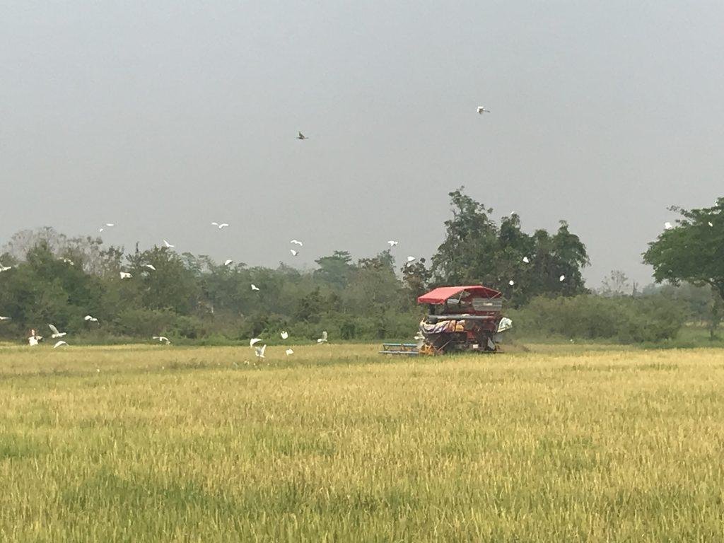 rice harvest | Buzzy Bee Bike, Chiang Mai, Thailand
