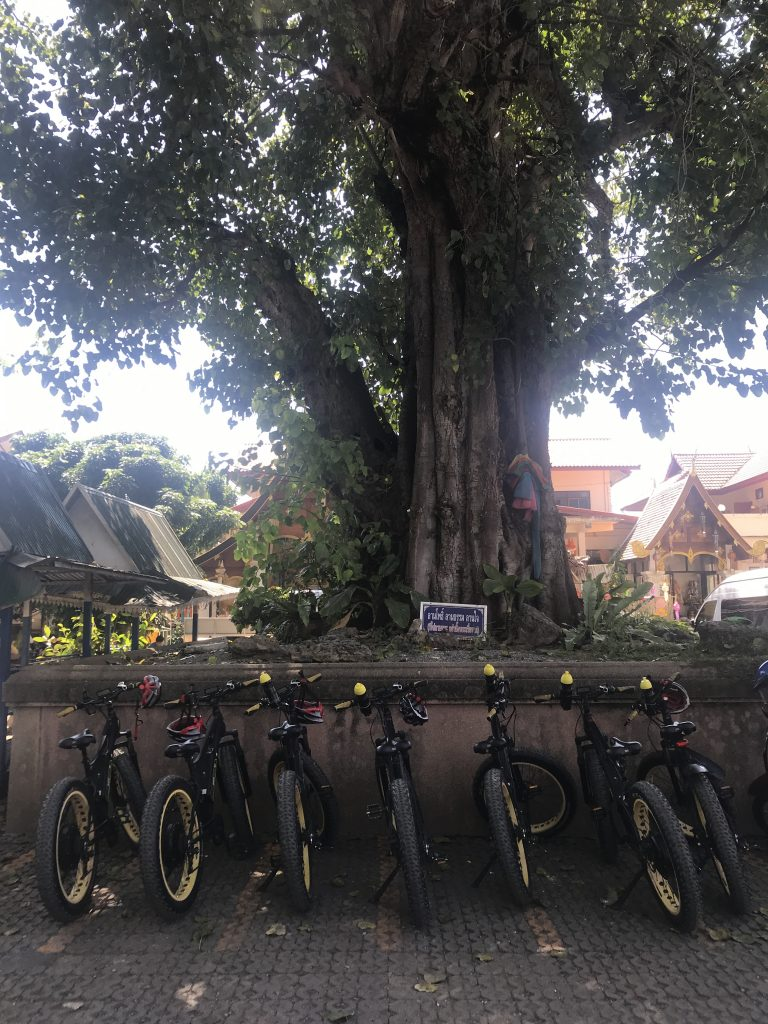 bodhi tree at Wat Haripunchai | Buzzy Bee Bike, Chiang Mai, Thailand