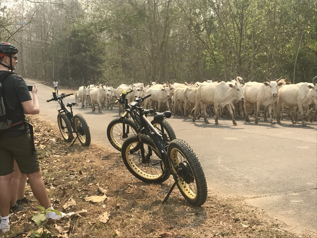 animals on our adventures: cow | Buzzy Bee Bike, Chiang Mai, Thailand