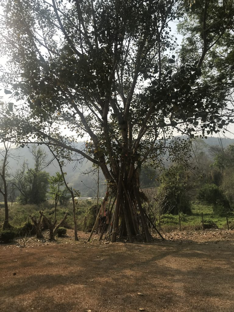 bodhi tree at Wat Suan Prig   Buzzy Bee Bike, Chiang Mai, Thailand